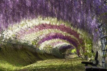 The Wisteria Flower Tunnel at Kawachi Fuji Garden