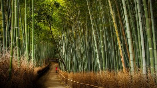 The Bamboo Forest of Sagano