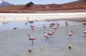 Flamingos, Salar De Uyuni, Bolivia
