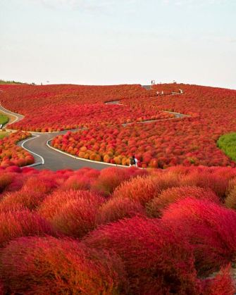 Hitachi Seaside Park, located in Hitachinaka, Ibaraki prefecture, Japan