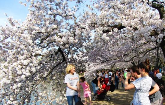 Capture a moment, the Cherry Blossom in Japan