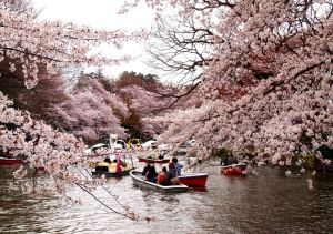the Cherry Blossom in Japan