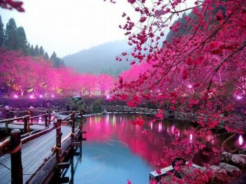 The Cherry Blossom, the blooming of the pink sakura