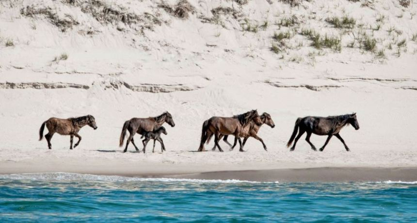 Sable Island is home to over 400 wild horses